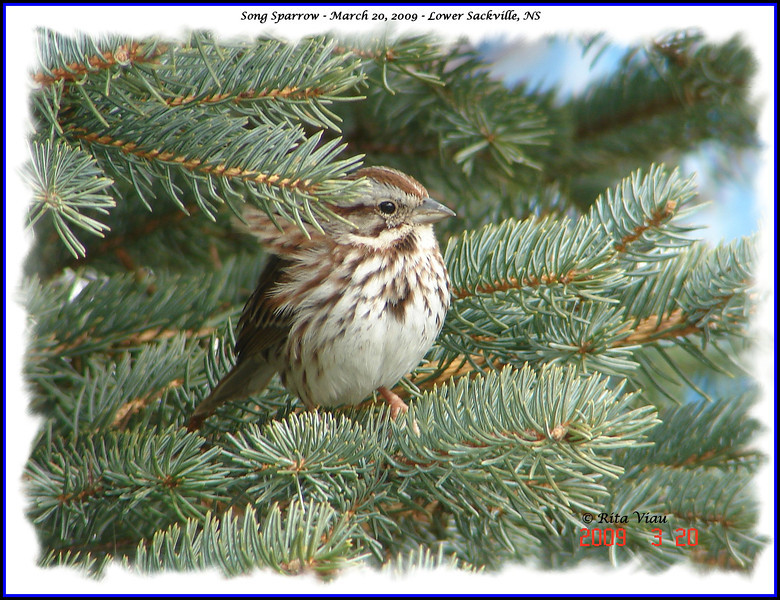 Song Sparrow - March 20, 2009 - Lower Sackville, NS