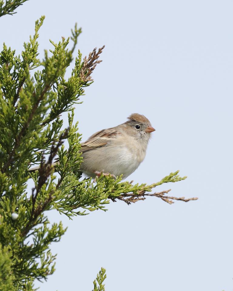 Field sparrow (2)