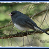 Dark-eyed Junco - May 7, 2006 - Lower Sackville, NS