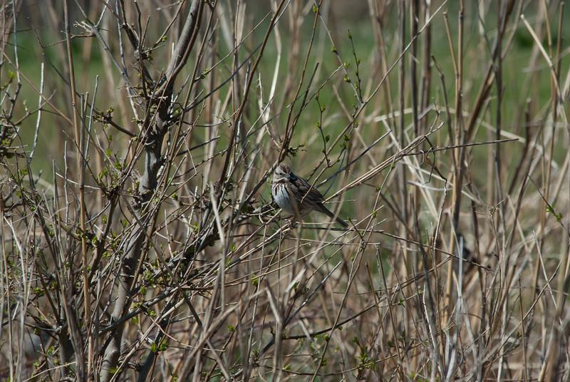 Sparrow sp (2)