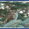 White-throated Sparrow - March 18, 2009 - Lower Sackville, NS