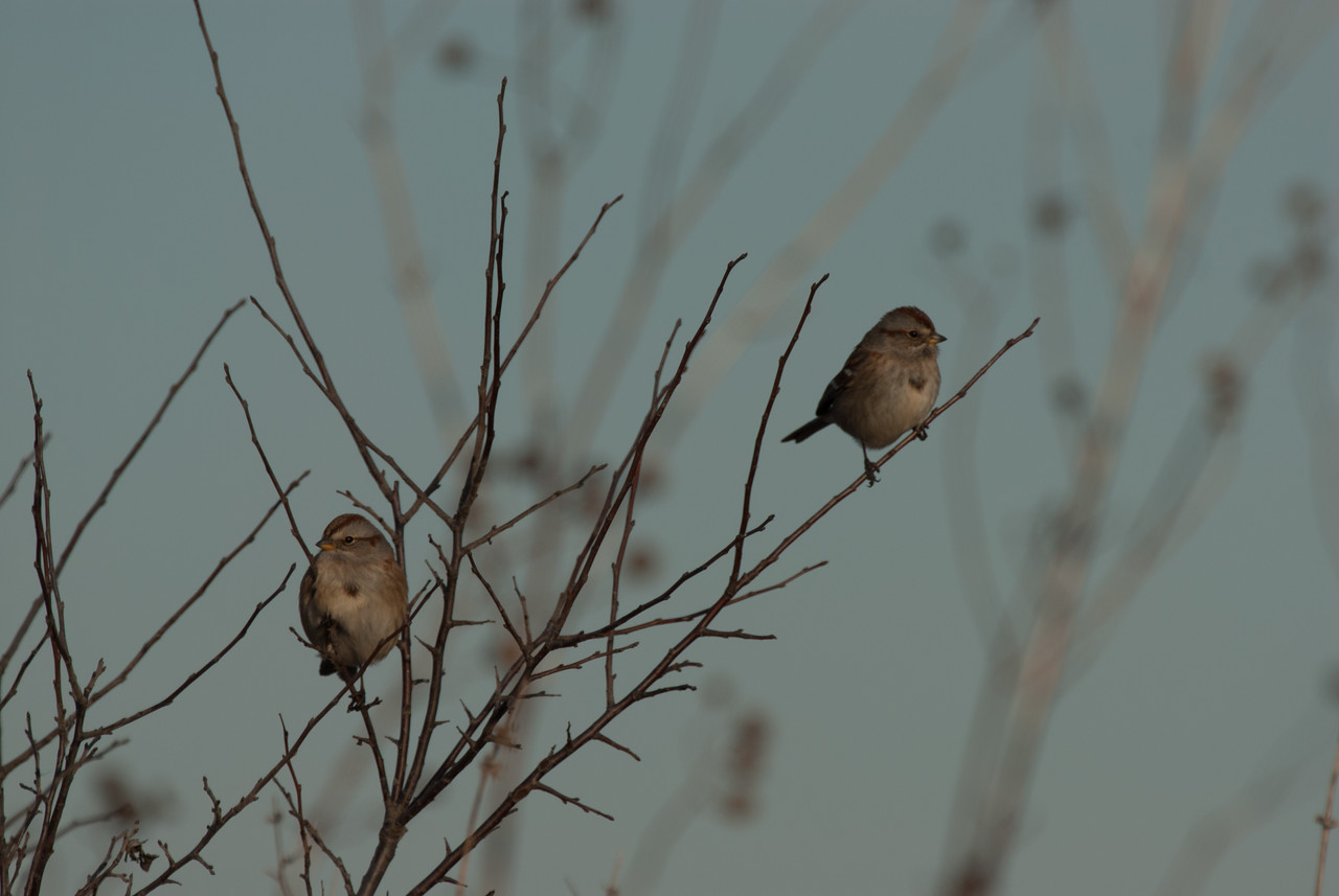American tree sparrow (2