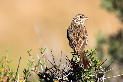 Vesper Sparrow at Lewis and Clark Caverns State Park in Jefferson County, Montana.