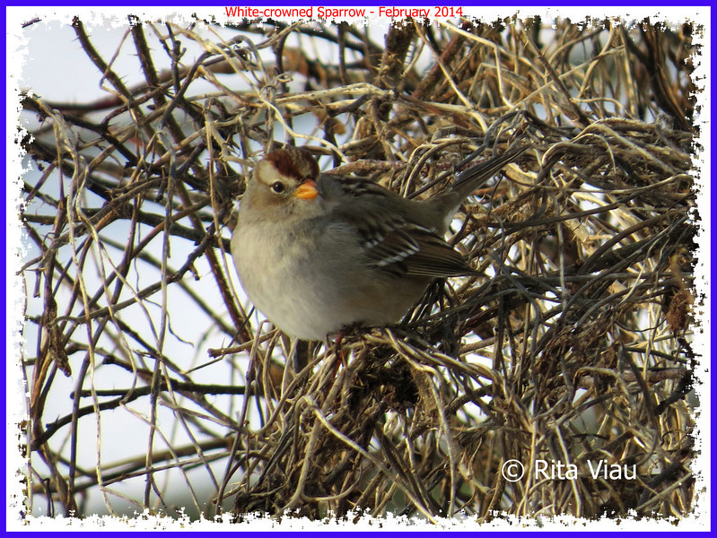 White-crowned Sparrow - February 9, 2014 - Eastern Passage, NS