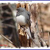 Dark-eyed Junco - April 10, 2006