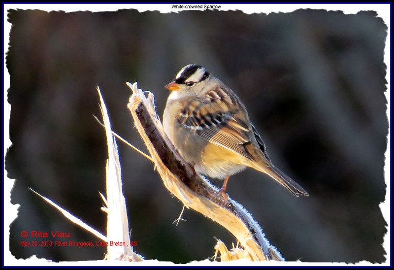 White-crowned Sparrow - May 23, 2013  - River Bourgeois, Cape Breton, NS