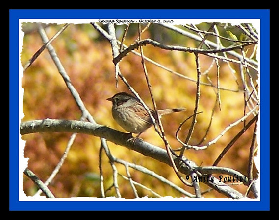 Swamp Sparrow - October 8, 2007 (Photo Anita Pouliot)