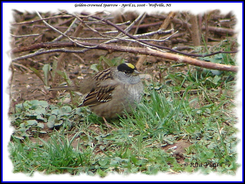 Golden-crowned Sparrow - April 21, 2006 - Wolfville, NS