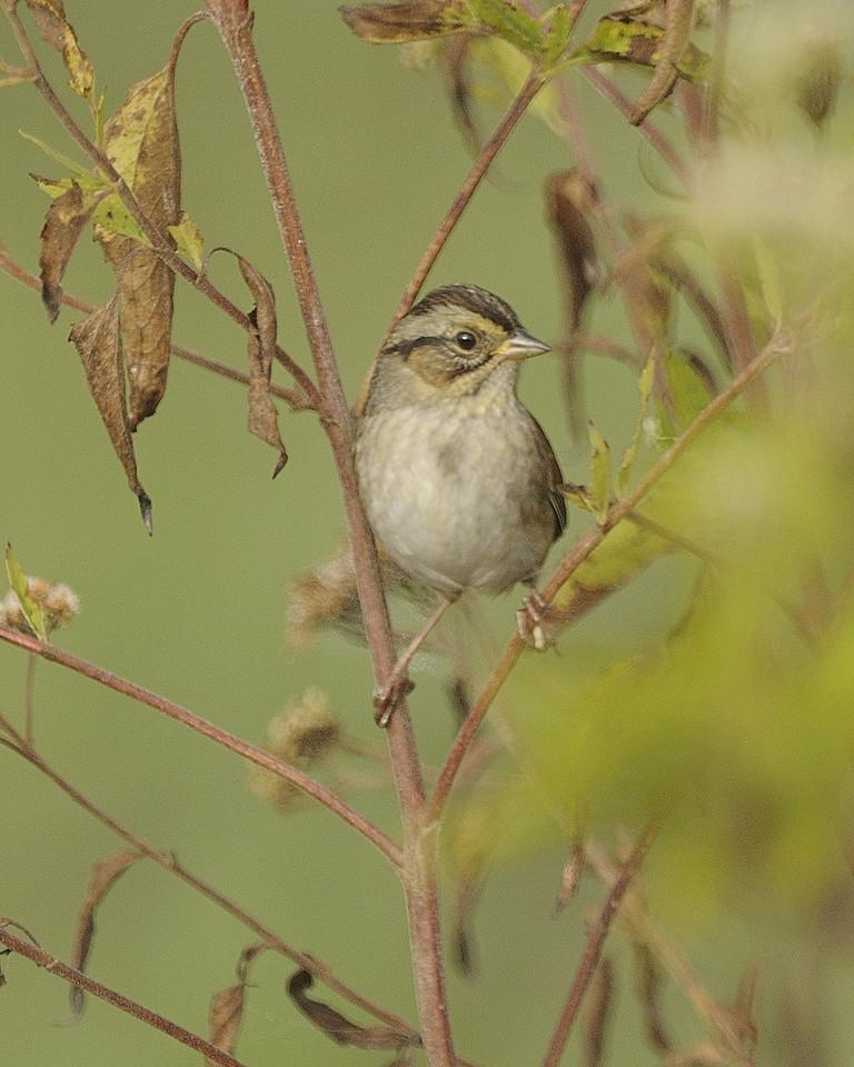 Sparrow sp (3)