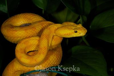Bothriechis schlegelii, Eyelash Viper; Becker Collection  2011-01-22  #2
