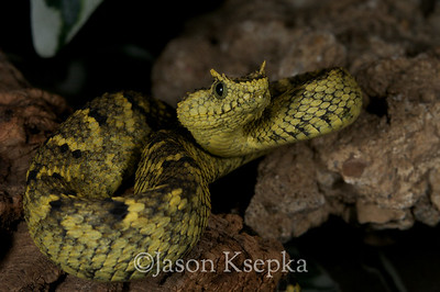 Atheris ceratophora, Horned Bush Viper; Becker Collection  2011-01-22  #8