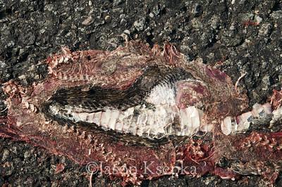 Crotalus horridus horridus, Timber Rattlesnake, Roadkill; Ocean County, New Jersey 2009-06-26 4