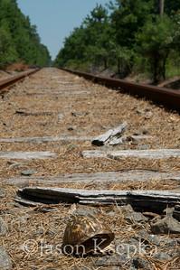 Terrapene carolina carolina, Eastern Box Turtle, died trapped in railroad tracks; Monmouth County, Oak Glen Road, Howell, New Jersey  2011-07-31  #1