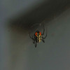 What is this Spider? Look close - not an hour glass red shape. Multiple red shapes on upper and lower body.