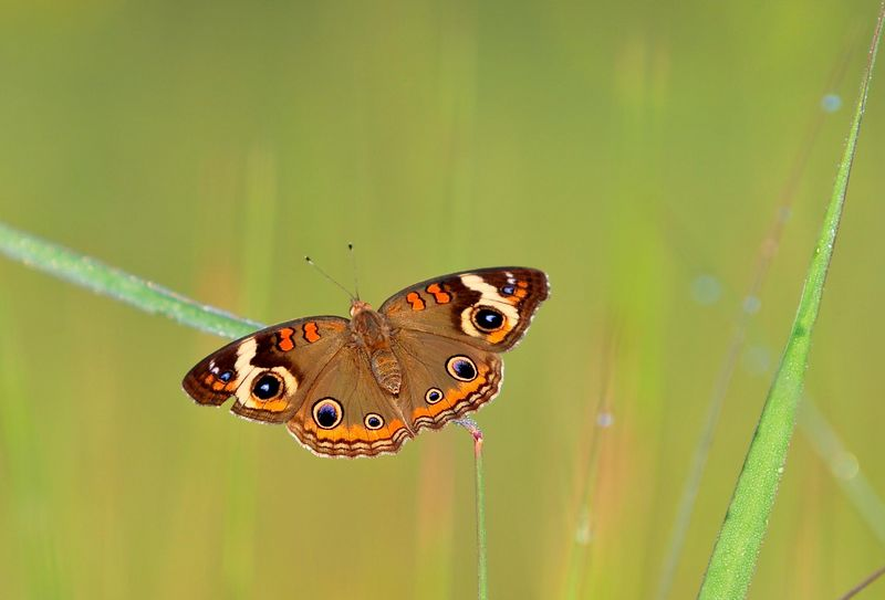 Common Buckeye Butterly