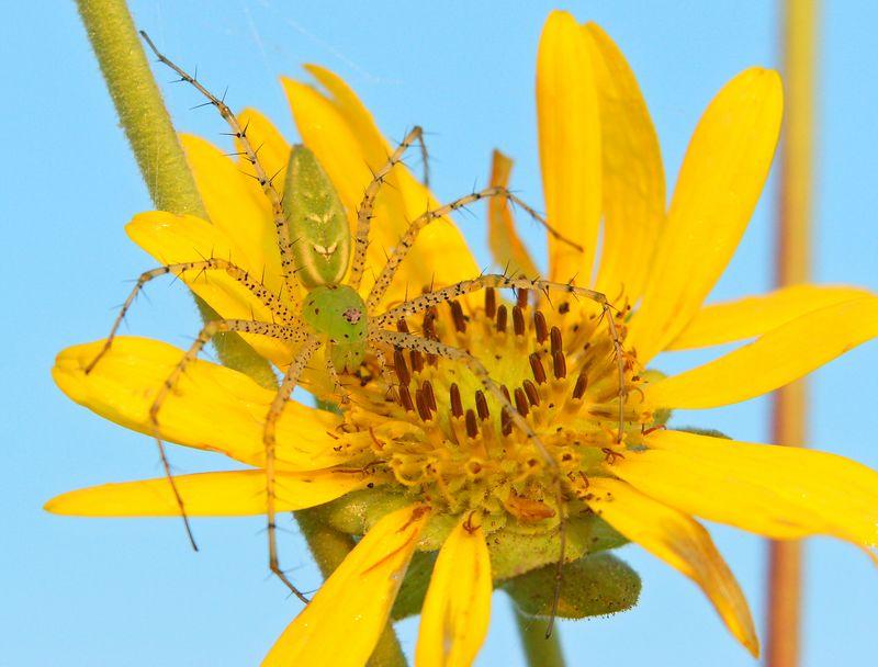 Green Lynx Spider, Wild Sunflower