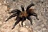 Tarantula sp.  TX: Starr Co. (Falcon State Park), 8 June 2007.