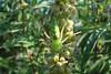 Peucetia viridans (Green Lynx Spider).  TX: Tannt Co. (Duhons' Fort Worth yard), 31 August 2009.