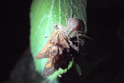Flower Crab Spider (Misumena vatia) eating a Fiery Skipper.  TX: Tarrant Co. (Duhons' Fort Worth yard), 18 July 2007.