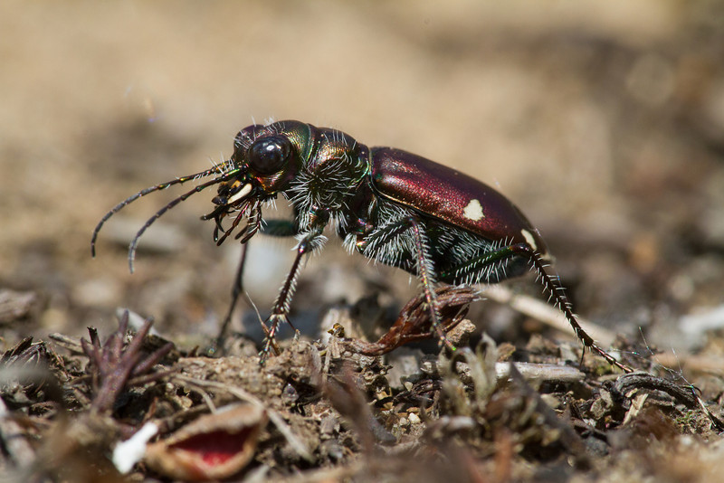 Festive Tiger Beetle - May 25, 2013 - Lucas County, Ohio