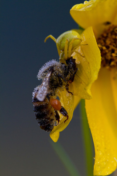 Crab spider eating a bee - September 2012