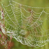 Spiderweb- Crex Meadows