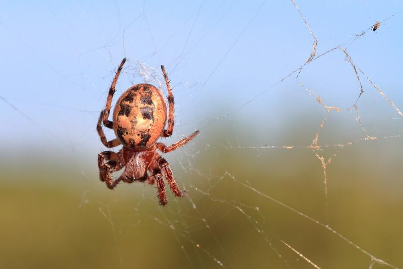 Furrow Spider- Crex Meadows WMA