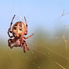 Furrow Spider- Crex Meadows WMA