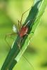 Cellar Spider?- Mille Lacs Kathio S.P.