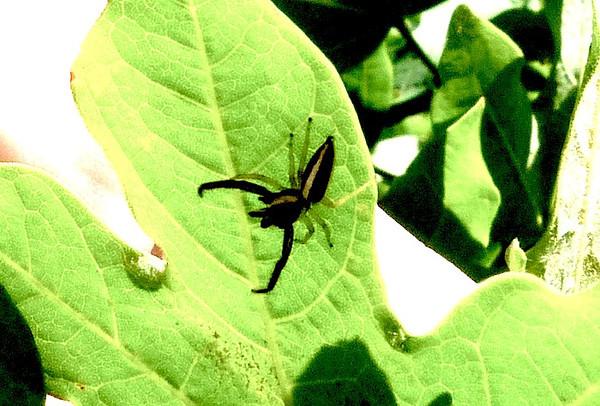 P102HentziaPalmarumJmprSpiAdj289 May 5, 2011   8:40 a.m.  P1020289 Hentzia palmarum Jumping spider, at LBJ WC.