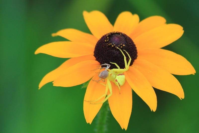 Crab Spider devouring mate- Sherburne NWR