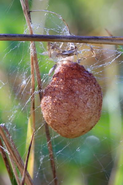 SpiderEggSack1661