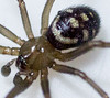 Spider from laundry bathroom's sink 2014/9/26.