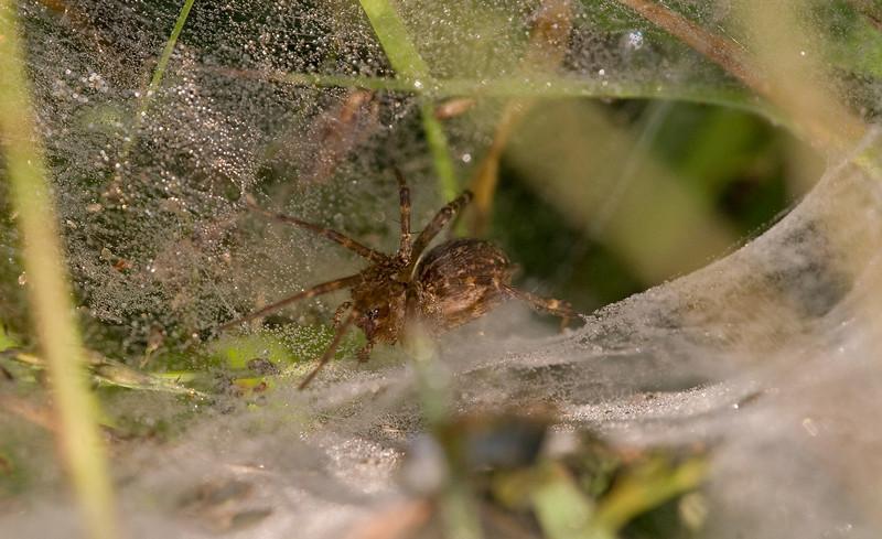 Funnel Web Spider - SideCut - September 2009