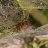 Funnel Web Spider - SideCut - September 2009