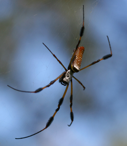 20070903 Large spider, Orton Plantation Gardens, Brunswick County, NC 2