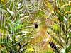 Orb Spider in Morning Dew