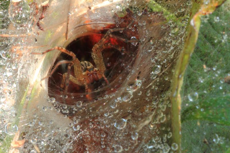 Spider- Sherburne NWR