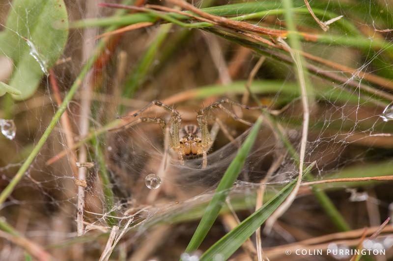 Grass spider (Agelenopsis sp.)