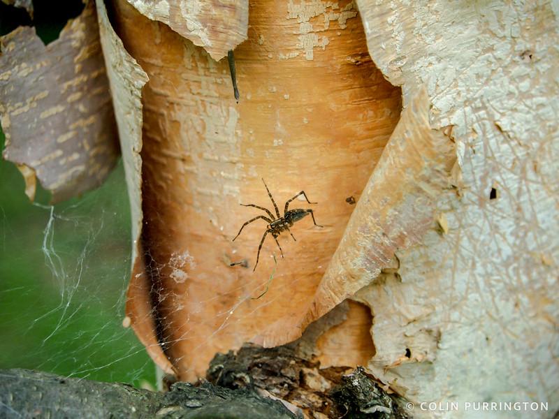 Spider on birch tree
