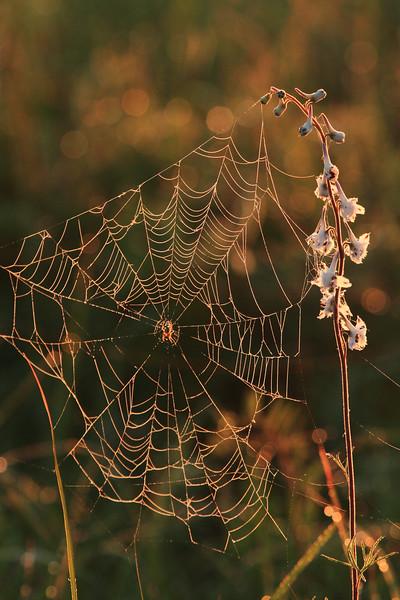 Spiderweb- Sherburne NWR