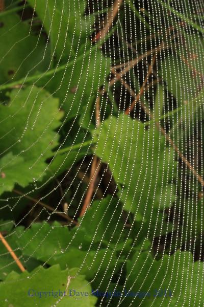 Spiderweb with Dew- Backyard