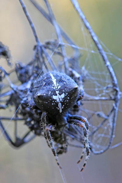 Cat-faced Spider 1677
