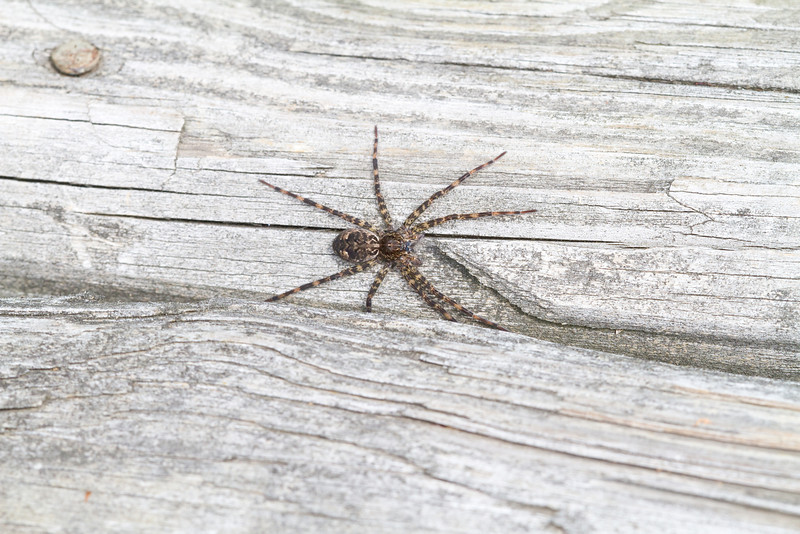 Common Fishing Spider - Irwin Prairie - June 18, 2011<br /> When I got closer it rain under the boardwalk to hide.  I had hoped for a close up view.  This spider is really big.