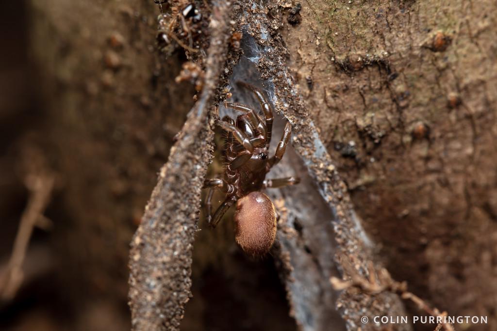 Snetsinger's purseweb spider