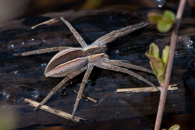 Nursery Web Spider - Irwin Prairie State Nature Preserve - April 23, 2011