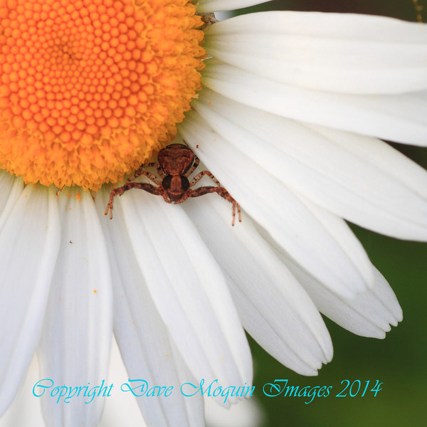 Transverse-banded Crab Spider on Ox-eye Daisy- Back Field