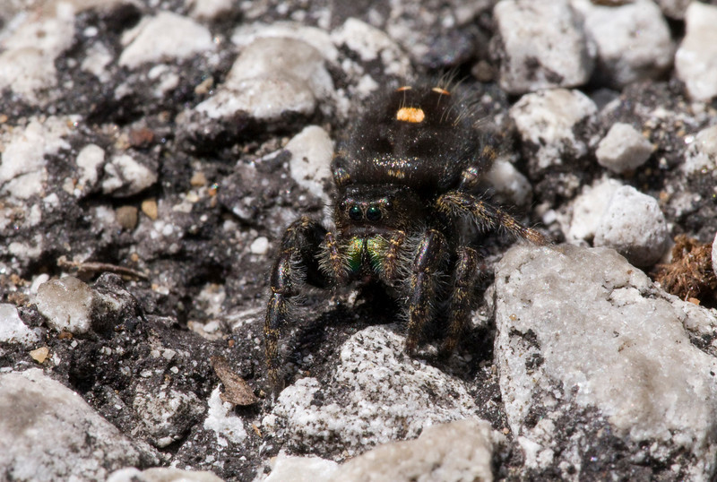 Bold Jumping Spider - Magee Marsh 2008 - While sitting in my car I noticed this on my leg. Parking lot was a better place for it.