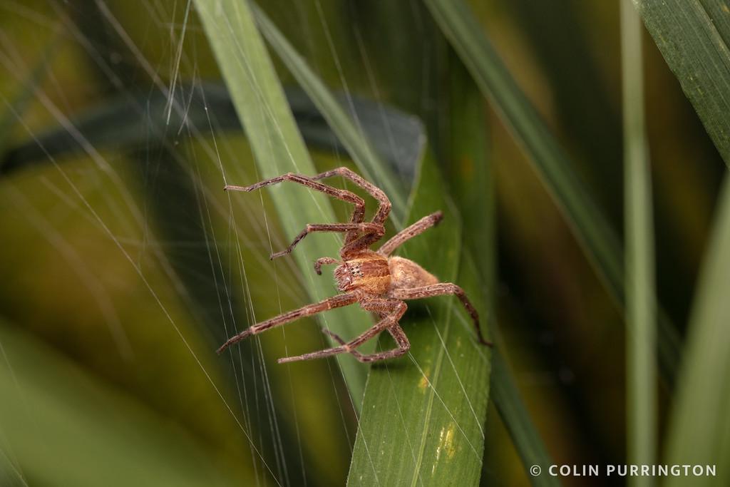 American nursery web spider