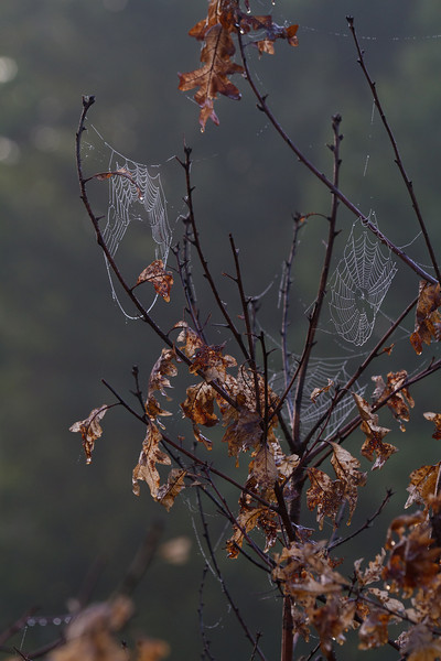 Spider webs on an oak tree - September 2012